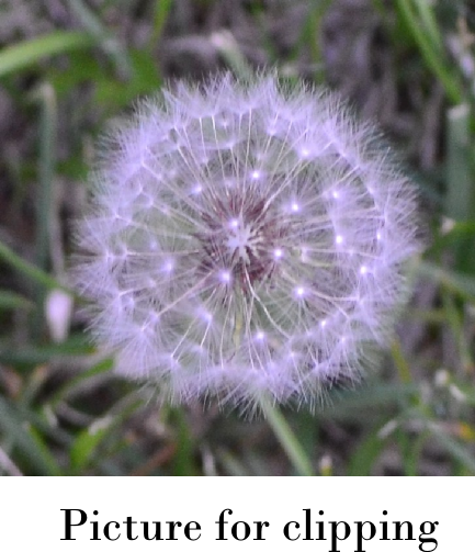 cropped photo of dandelion puff